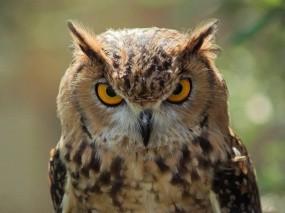 Обои Совиный взгляд: Глаза, Взгляд, Птица, Сова, Птицы