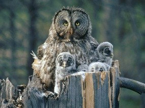 Обои Сова с совятами: Птица, Сова, Совята, Птицы