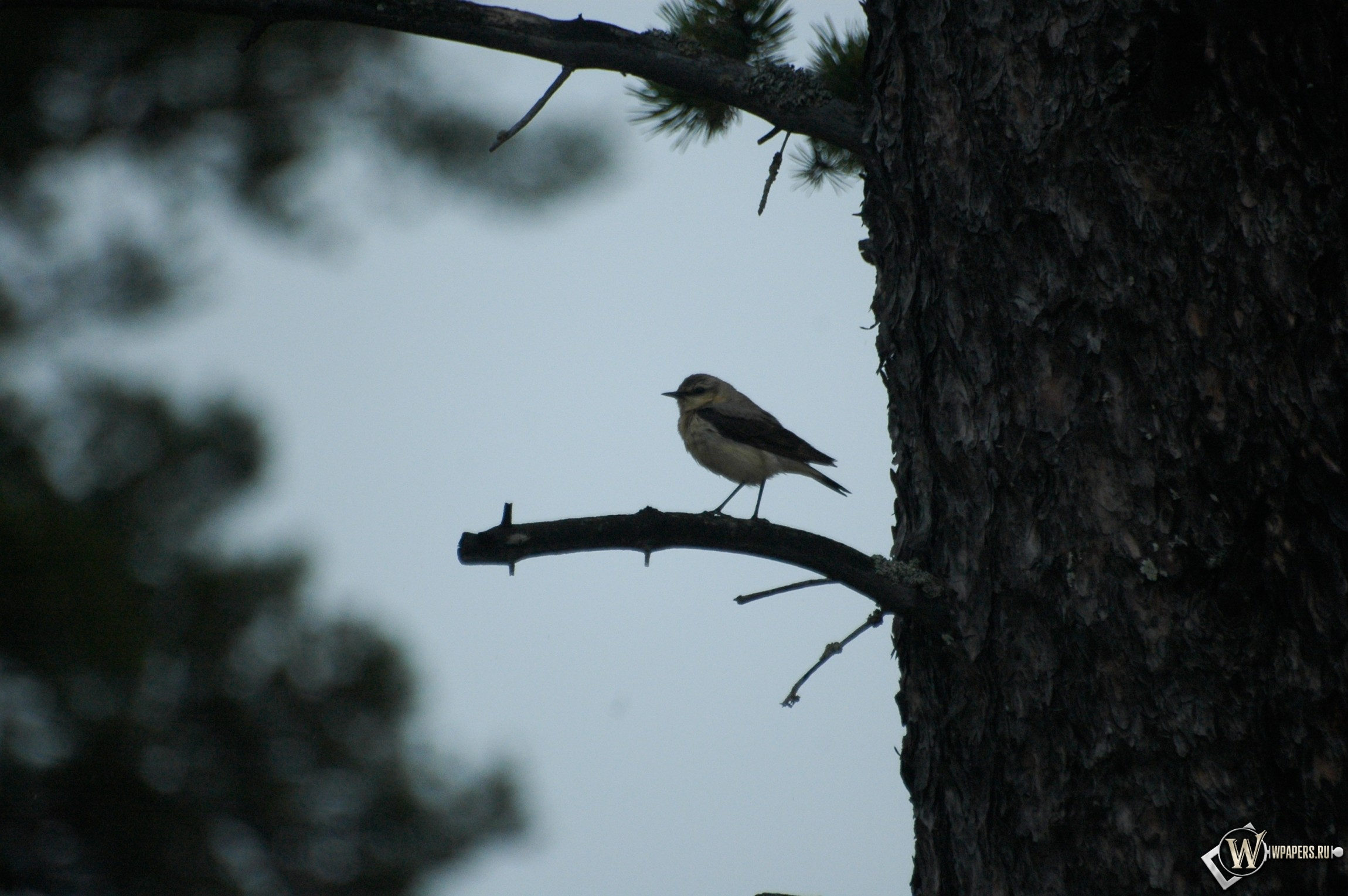 Птичка дереве 2300x1530