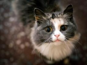 Обои Пронзительный взгляд: Взгляд, Кот, Кошки