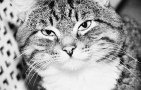 Обои Большой котэ: Кот, Мордашка, Кошки