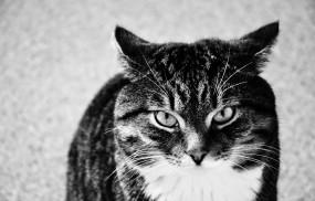 Обои Полосатый Котэ: Взгляд, Кот, Кошки