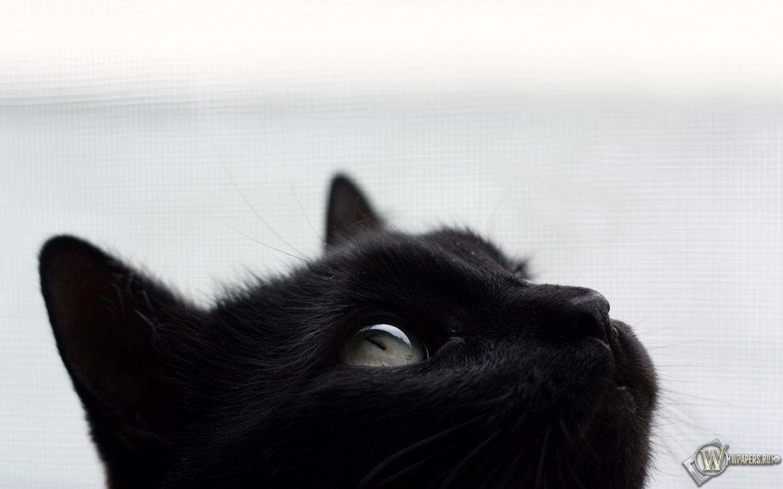 Черный кот 1440x900