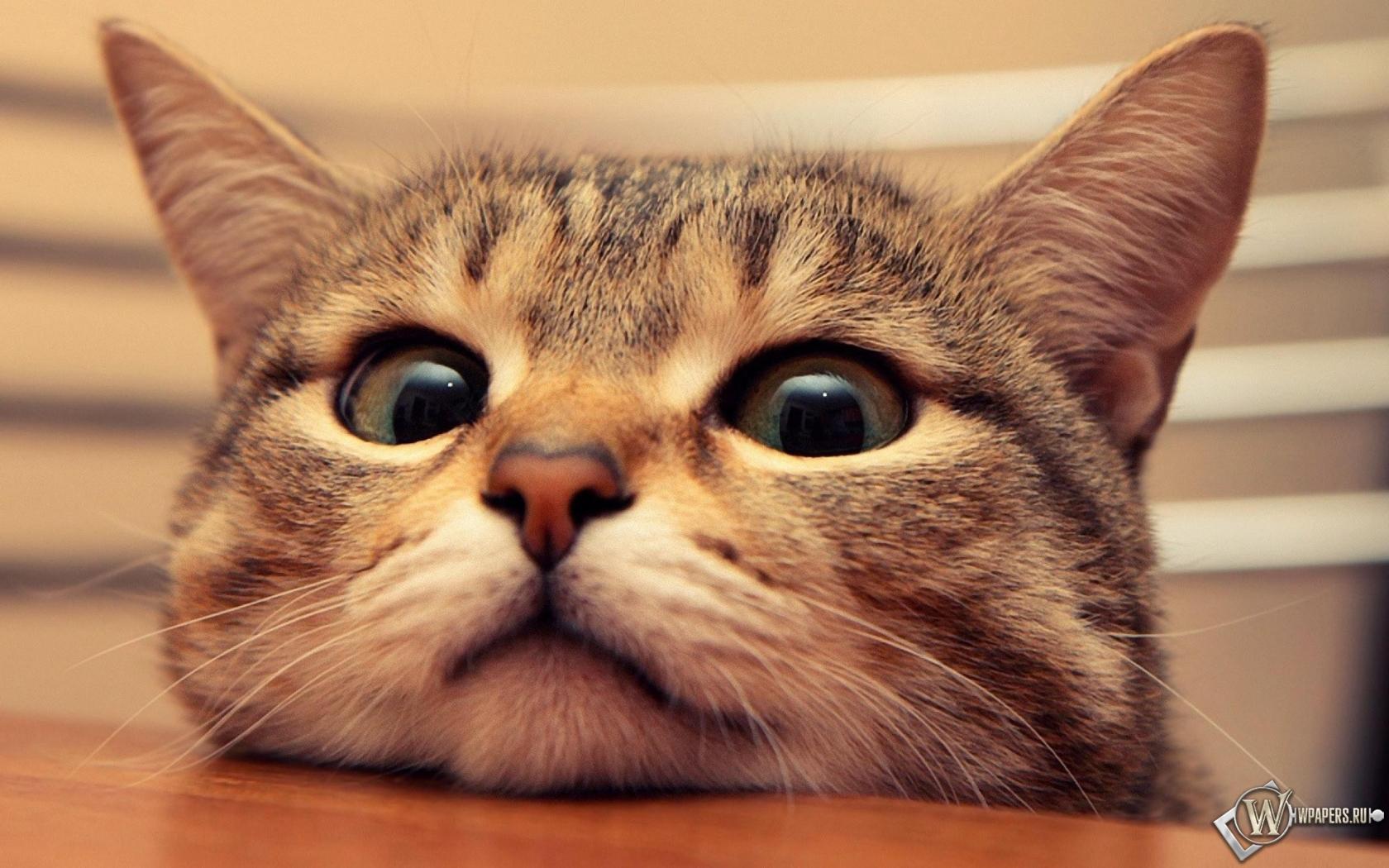 Обои удивленный кот на рабочий стол с