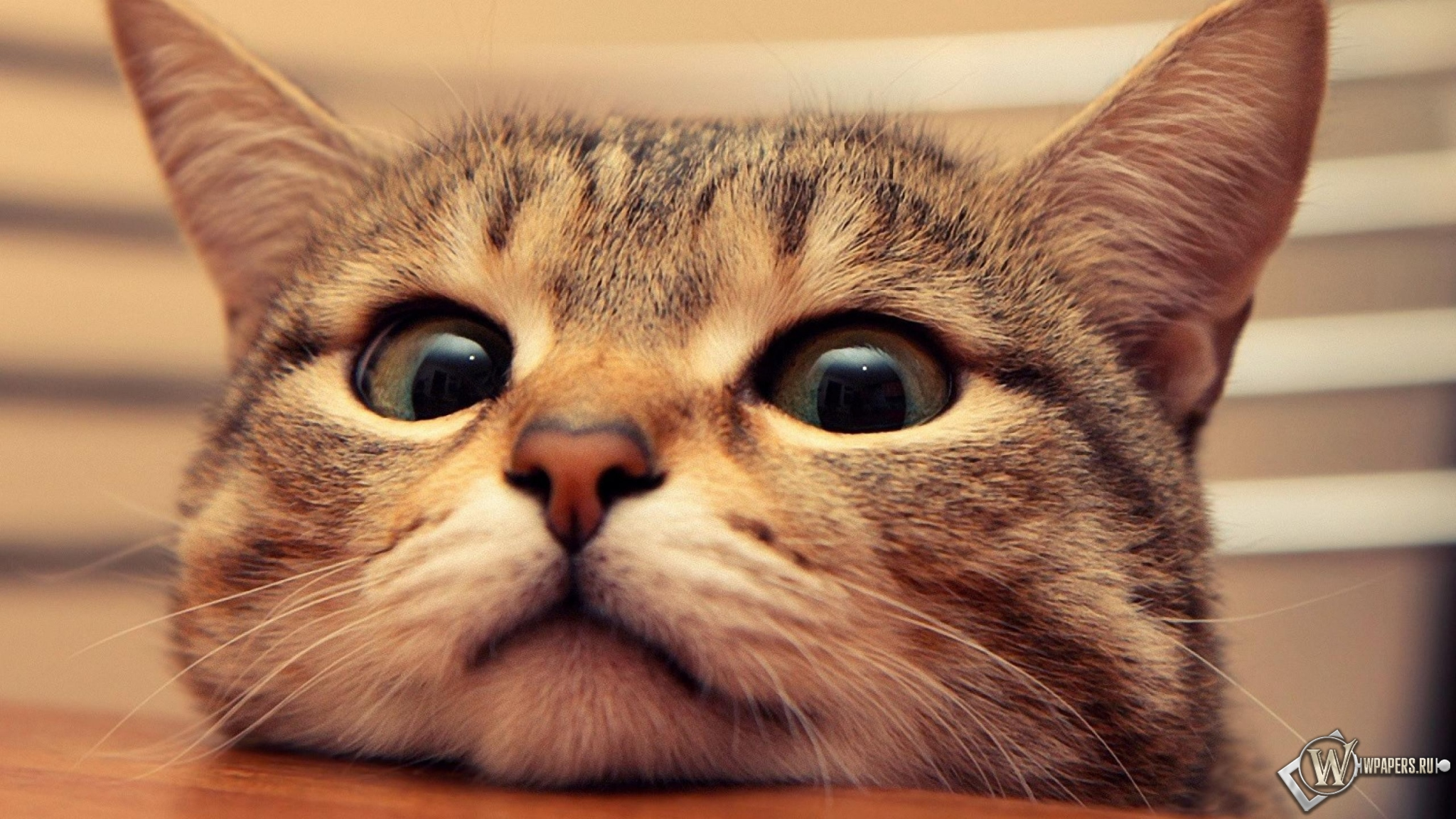 Для рабочего стола сиамские кошки обои 6