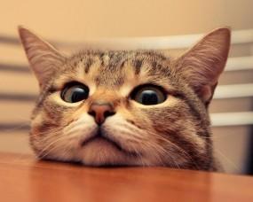 Обои Удивленный кот: Кот, Удивление, Кошки