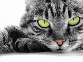 Обои кошачья мордочка: Глаза, Взгляд, Кот, Мордашка, Кошки