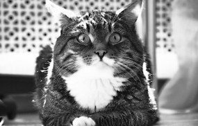 Обои Полосатый котик: Кот, Удивление, Черно-белое, Кошки