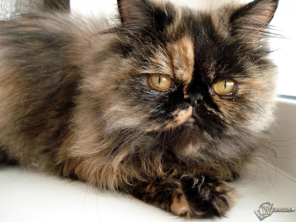 Персидская кошка 1024x768