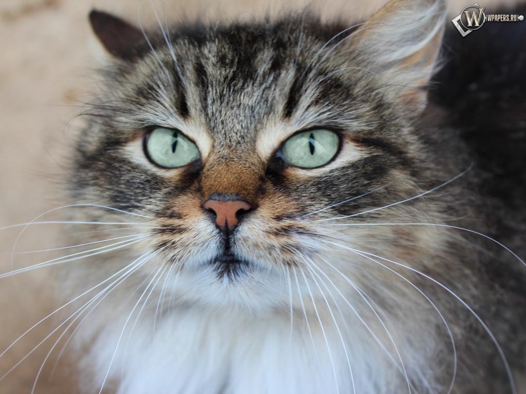 Обои кошка взгляд морда кошка 1024x768