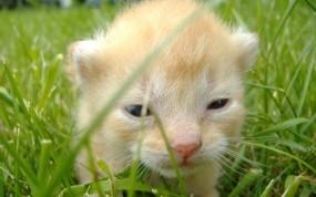 Обои Ninja Cats: Трава, Котёнок, Кошки