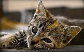 Обои котенок: Взгляд, Кот, Котёнок, Кошки