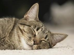 Обои Спящий кот: Кот, Сон, Ковёр, Кошки