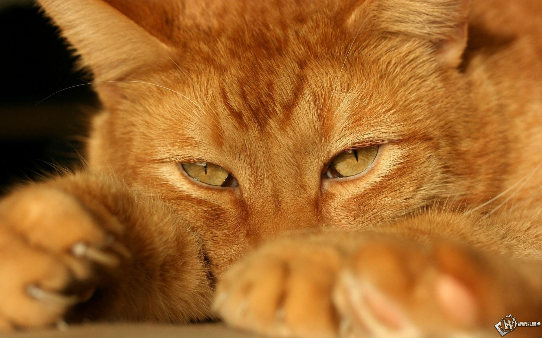 рыжий кот 2880x1800