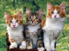 Обои Троица котят: Кот, Кошки, Кошки