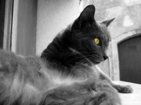 Обои Серая кошка: Глаза, Кошка, Цвет, Чёрно-белая, Кошки