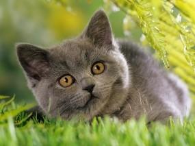 Обои Серая кошка: Трава, Кошка, Серая, Кошки