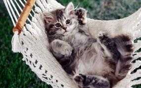 Обои Котёнок в гамаке: Гамак, Котёнок, Кошки