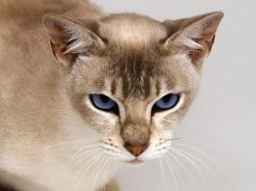Обои Тонкинская кошка: Взгляд, Кошка, Настроение, Кошки
