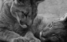 Обои Две пумы: Сон, Пара, Пума, Кошки
