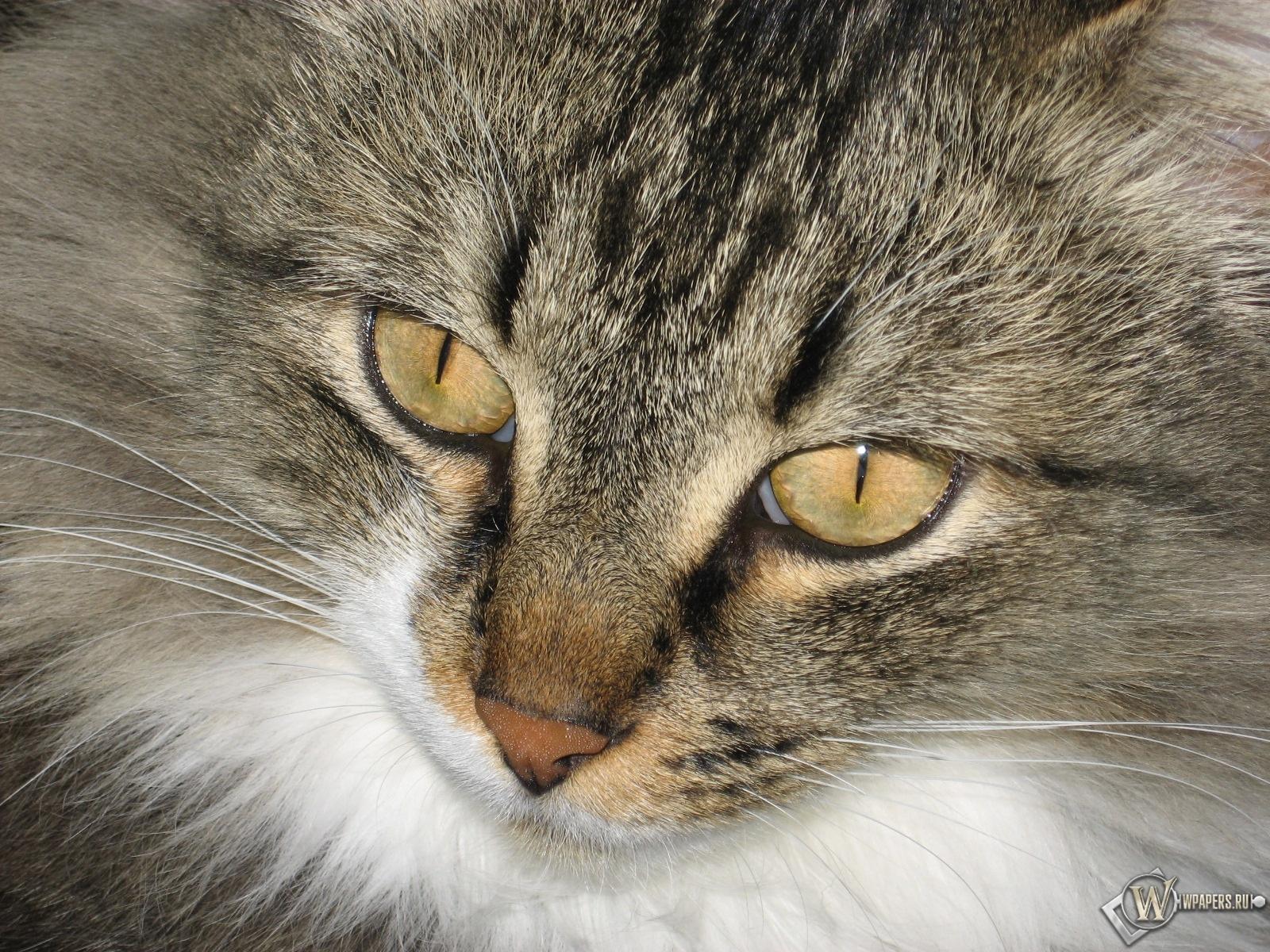 Серый кот 1600x1200
