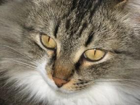 Обои Серый кот: Глаза, Кот, Кошки