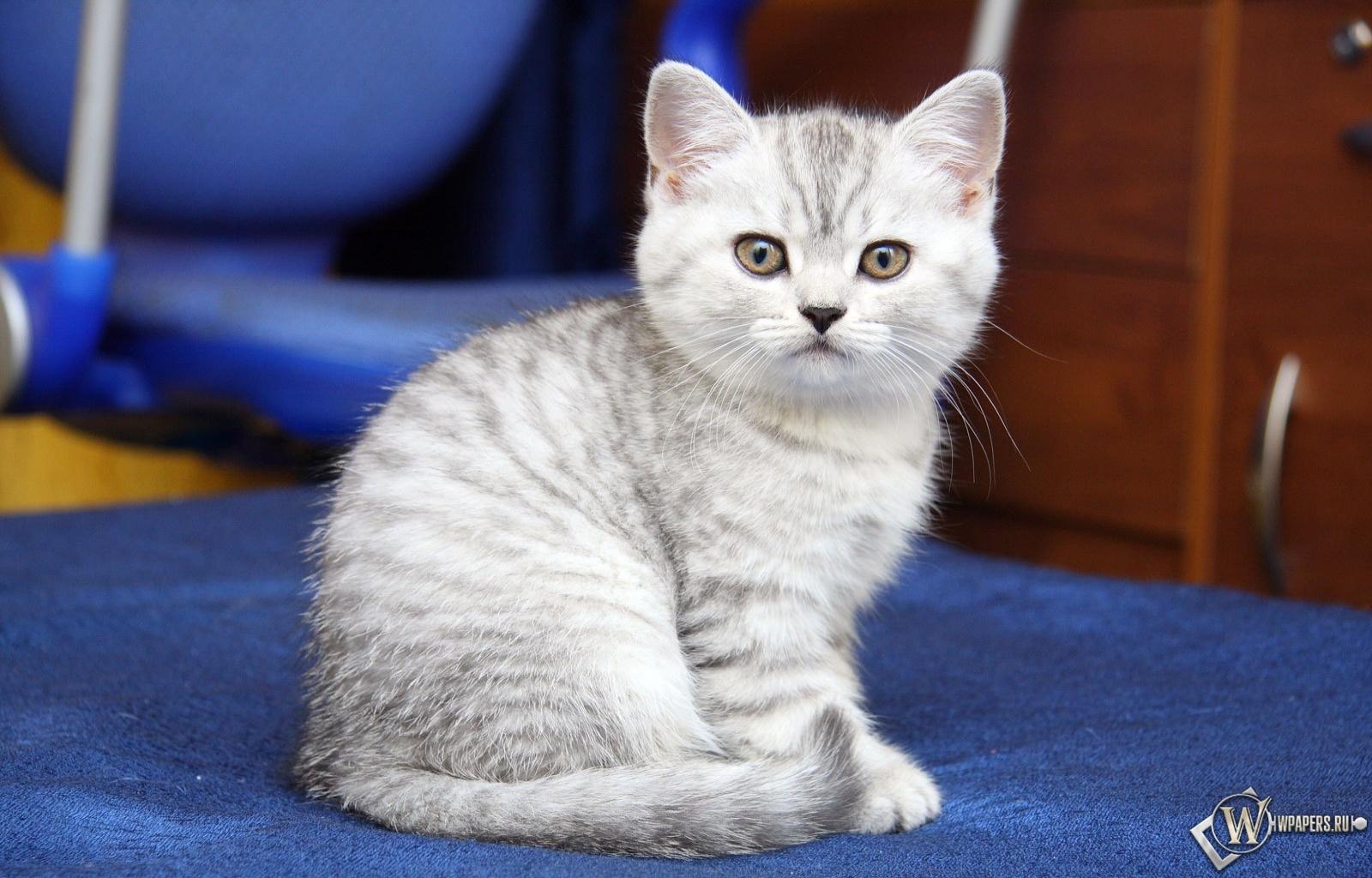 Серый котик 1600x1024