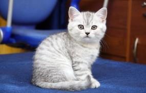 Обои Серый котик: Кот, Кошка, Котёнок, Кошки