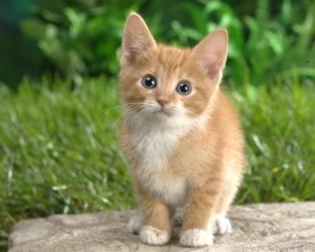 Обои Котёнок на траве: Трава, Кошка, Котёнок, Рыжий, Кошки