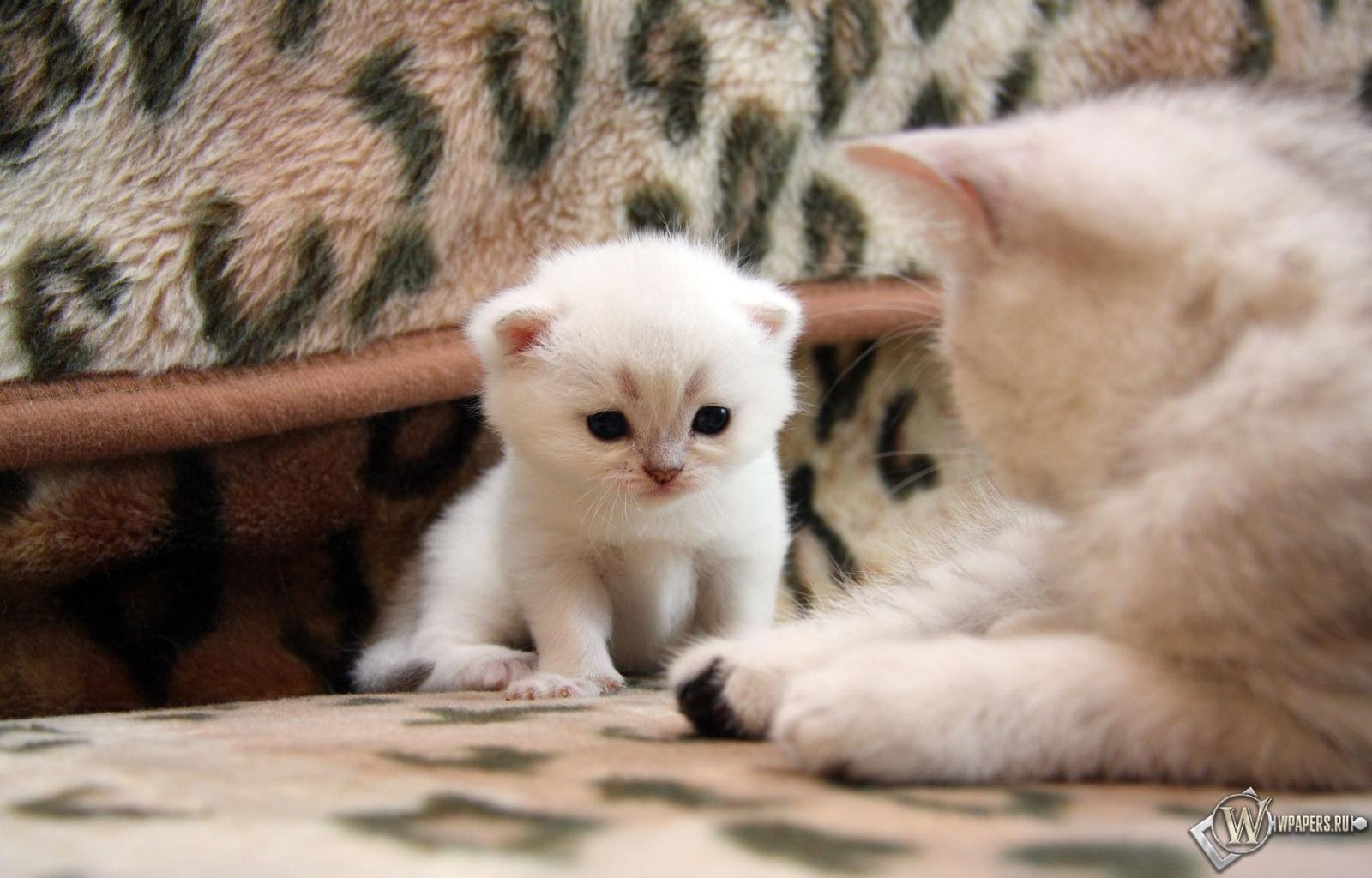 Белый котёнок 1600x1024