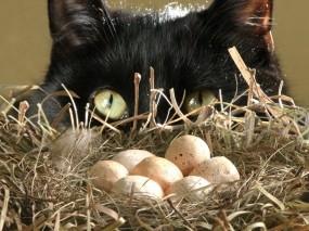 Обои Кот у гнезда: Кот, Гнездо, Яйца, Кошки