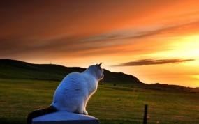 Обои Кошка любуется закатом: Закат, Кошка, Луг, Кошки