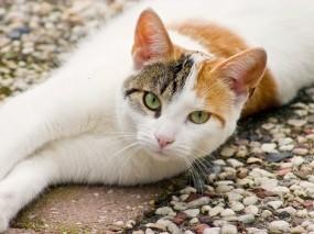 Обои Выразительный взгляд: Взгляд, Кот, Кошки