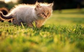 Обои Котёнок на прогулке: Трава, Лето, Котёнок, Кошки