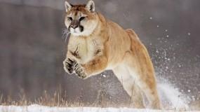 Обои Пума в прыжке: Снег, Прыжок, Пума, Кошки
