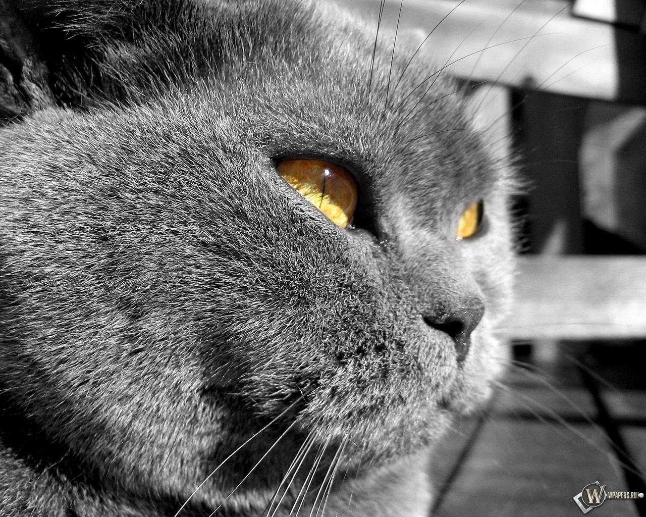 Суровый британский кот 1280x1024