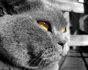 Обои Суровый британский кот: Кот, Морда, Кошки