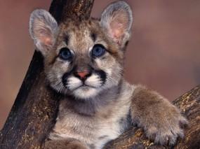 Обои Маленькая пума: Голубые глаза, Пума, Кошки