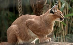 Обои Сидящая рысь: Поза, Кошка, Рысь, Кошки