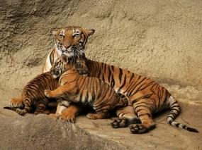 Обои Тигрица с тигрятами: Тигрица, Семья, Тигрята, Кошки