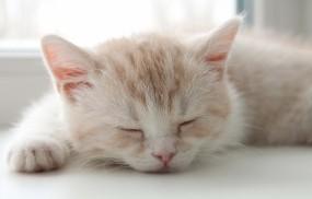 Обои Котёнок спит: Сон, Котёнок, Кошки
