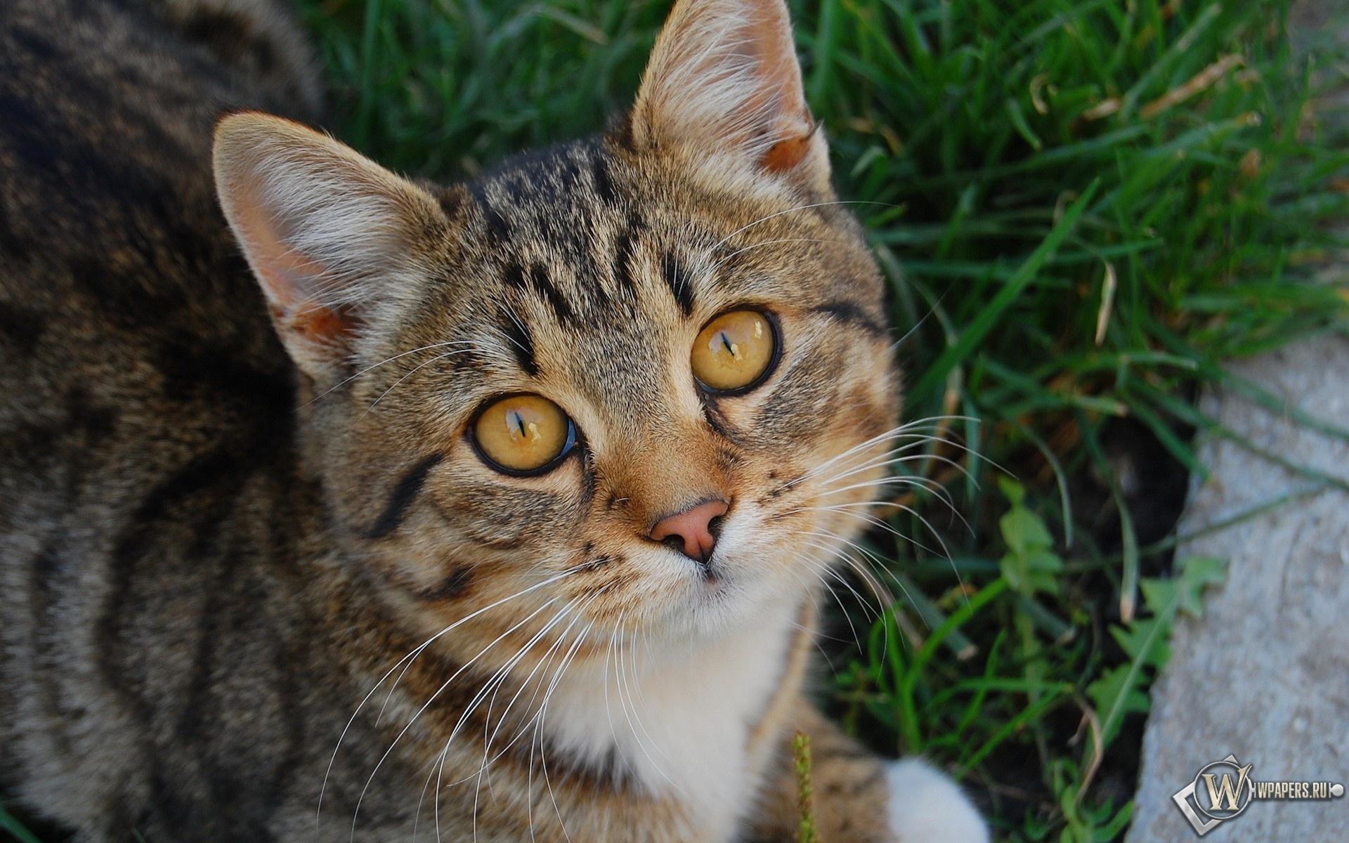 Кот с жёлтыми глазами 1920x1200