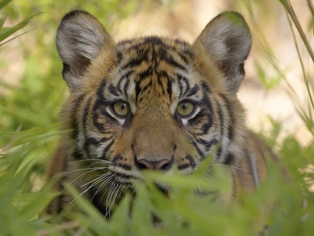 Тигр на охоте
