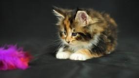 Обои Пушистый котёнок: Взгляд, Игрушка, Котёнок, Кошки