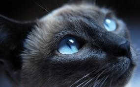Обои Голубоглазый кот: Глаза, Кот, Нос, Кошки