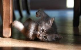Обои Котёнок в доме: Серый, Котёнок, Кошки
