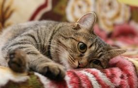 Обои Полосатый кот: Кот, Полосы, Кошки