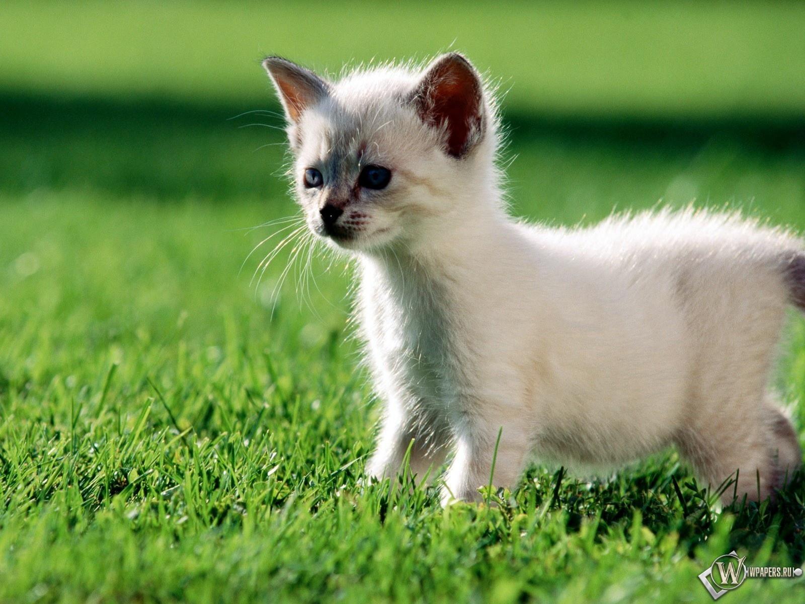 Котёнок на траве 1600x1200