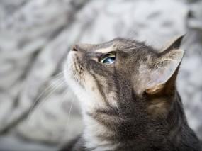 Обои Кот в профиль: Глаза, Кот, Уши, Кошки