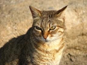 Обои Хитрый взгляд: Взгляд, Кот, Рыжий, Кошки